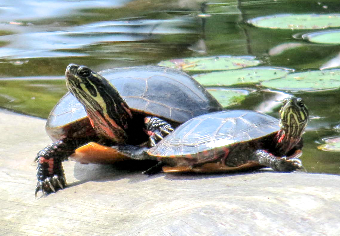 3. Turtles