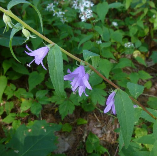 5. Creeping Bellflower