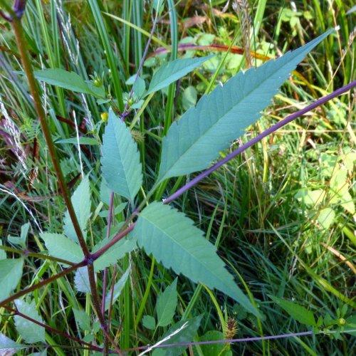 5. Devil's Beggartick Foliage
