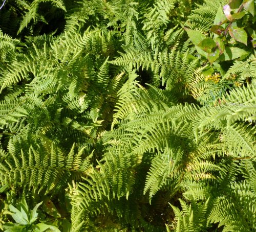 5. Marginal Wood Fern