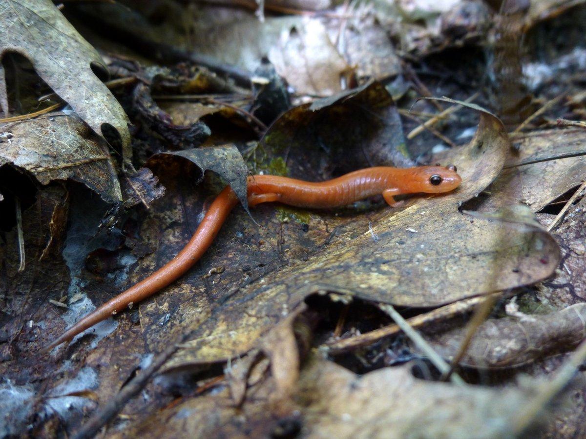 5. Salamander