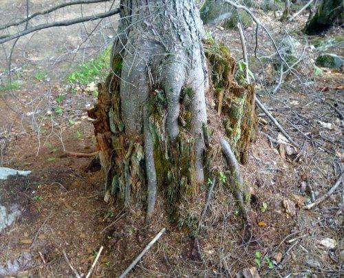 7. Hemlock Growing out of Stump