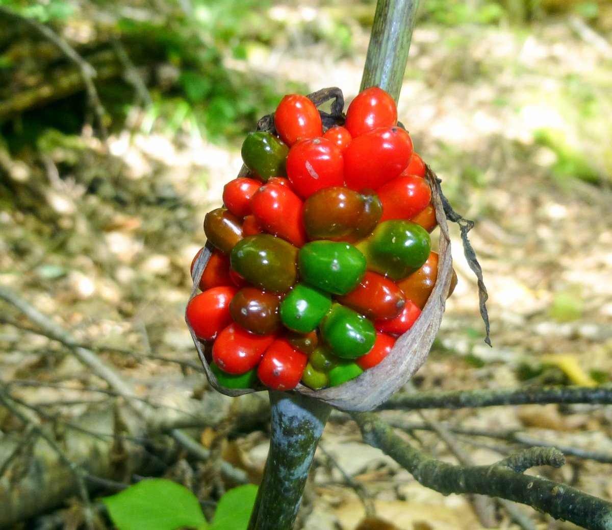 7. Jack in the Pulpit Berries