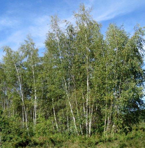 8. Birches