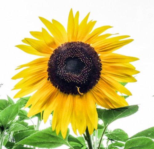 8. Sunflower