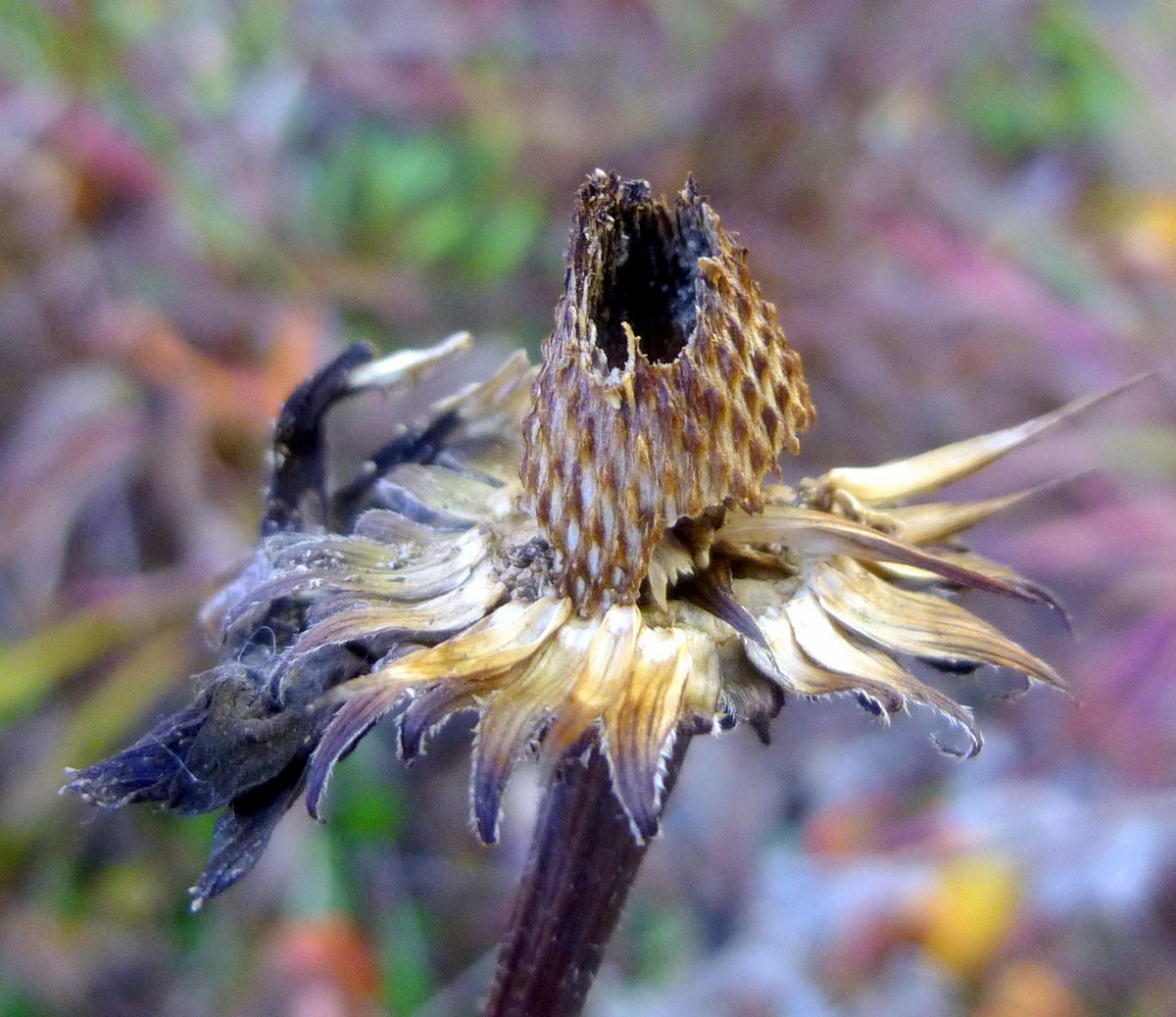 1. Coneflower Seed Head