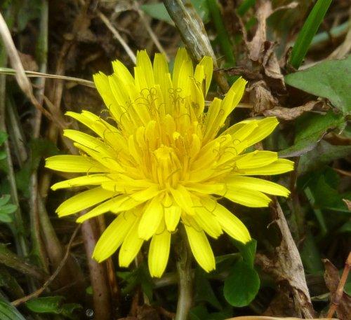 1. Dandelion