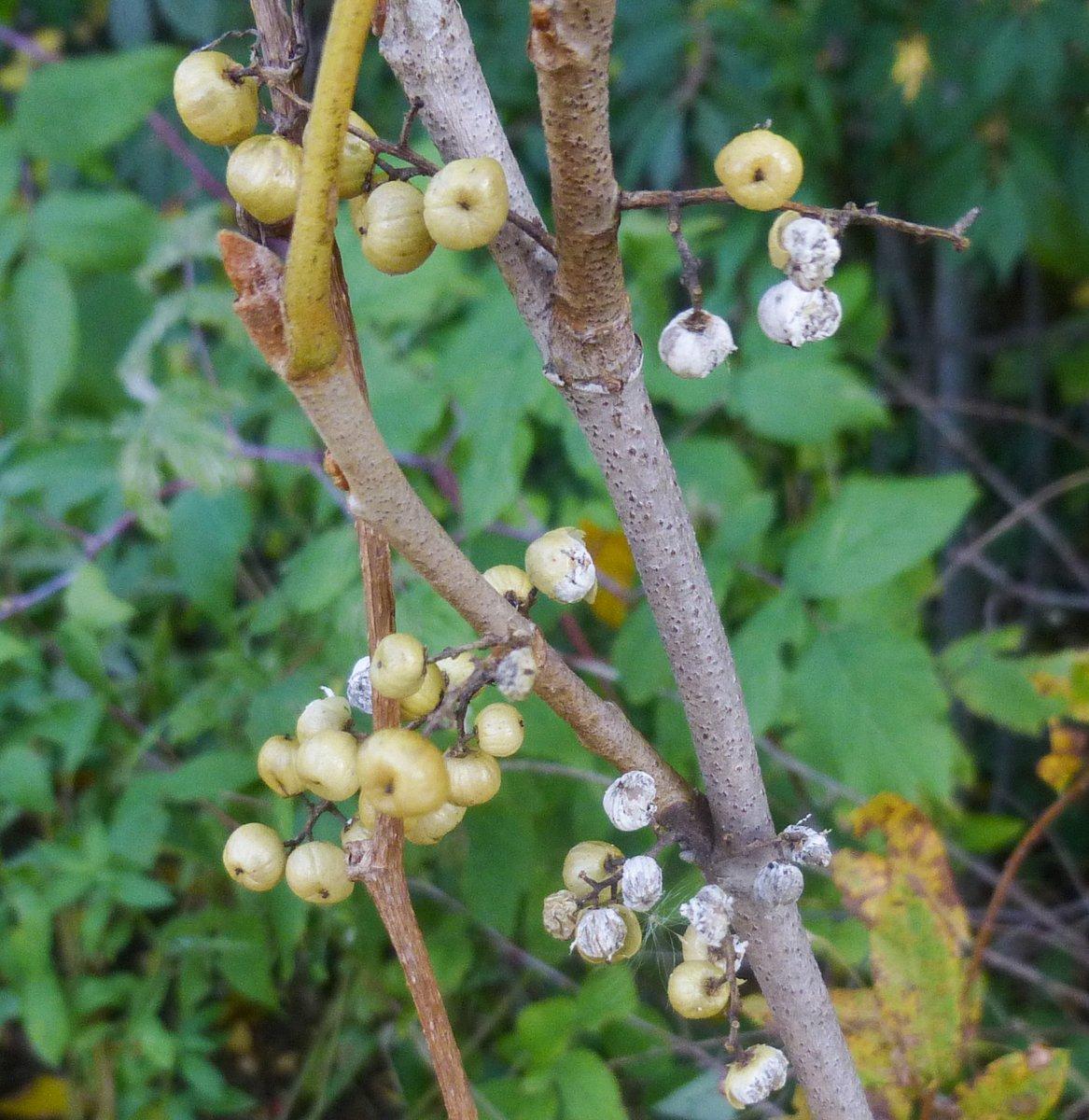 10. Poison Ivy