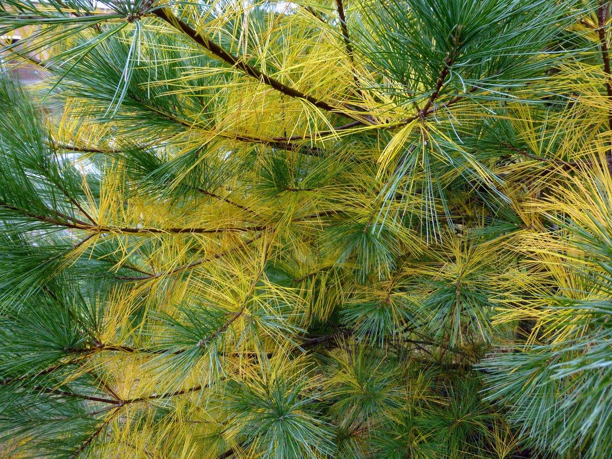 12. White Pine