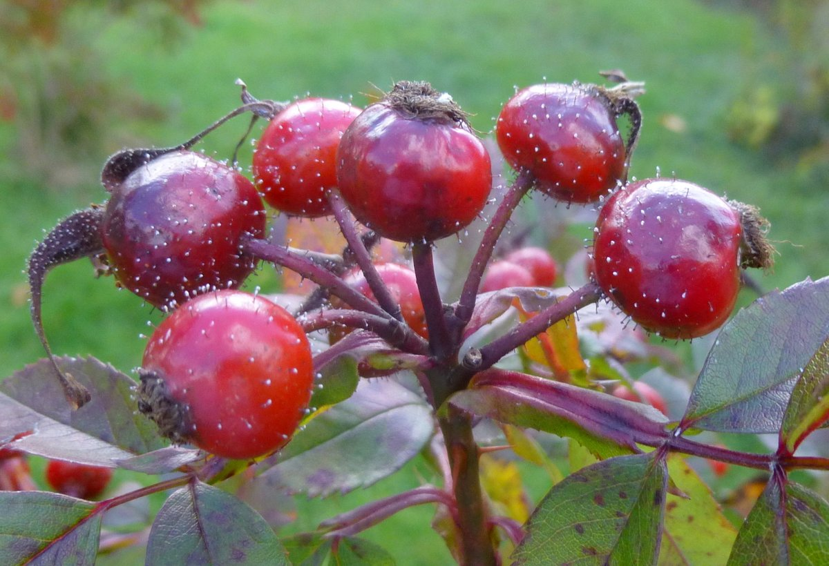 Rose hips rose hips new hshire garden solutions - What to do with rosehips jelly and vinegar ...