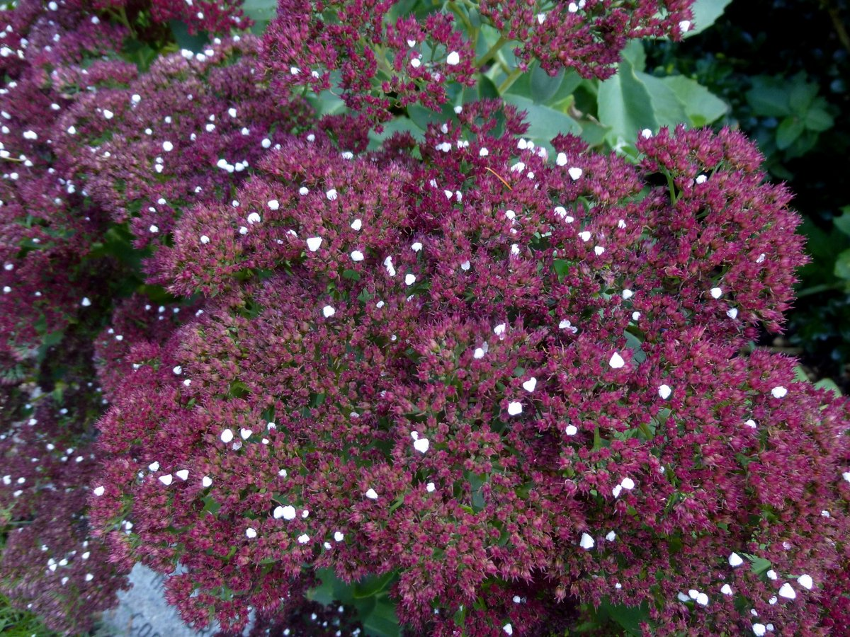 13. Snow on Sedum