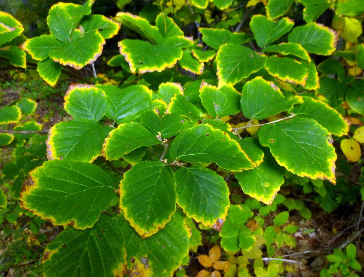 13. Witch Hazel Foliage