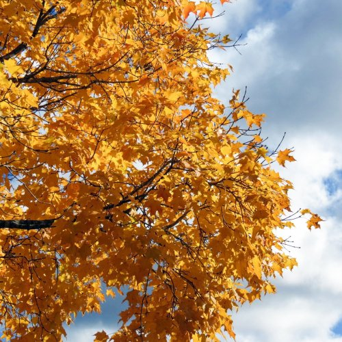 14. Maple