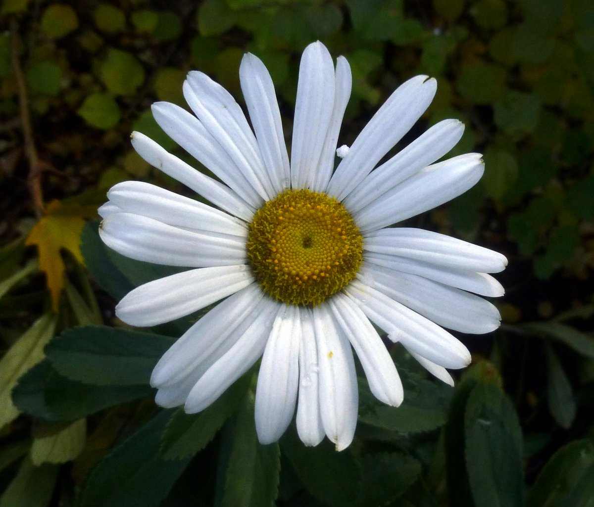 Montauk daisy new hampshire garden solutions i saw this daisy like flower blooming in a local park when snow was falling it looked like a shasta daisy on steroids growing two feet tall with tough izmirmasajfo