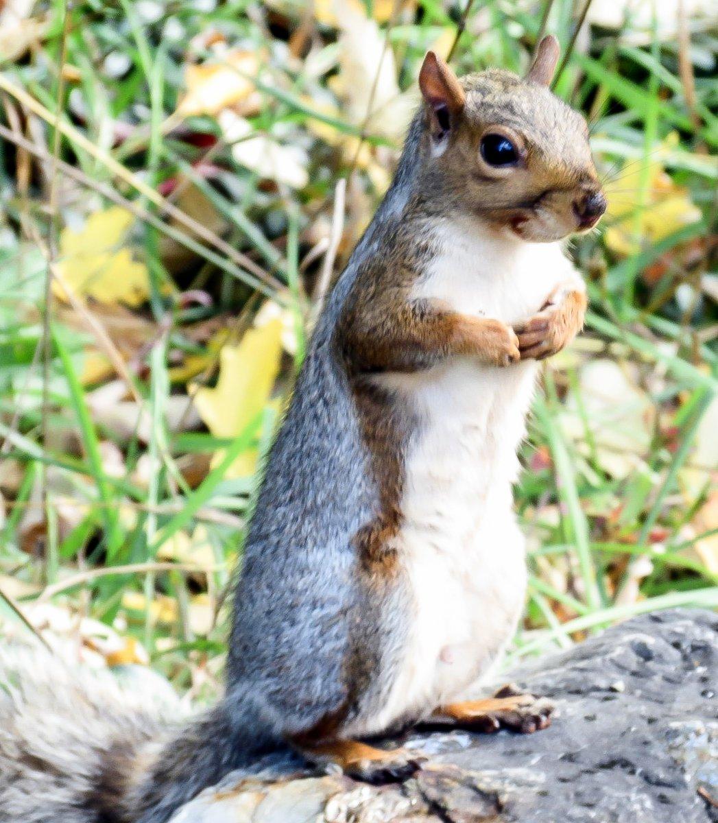 18. Gray Squirrel