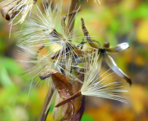 2. Aster Seeds