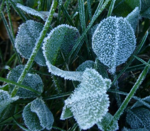3. Frosted Clover Leaves