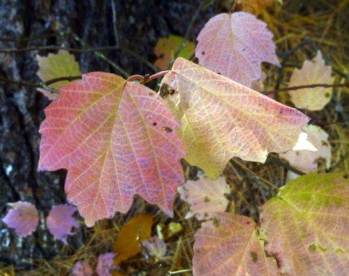 3. Maple leaf Viburnum