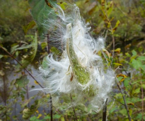 3. Milkweed