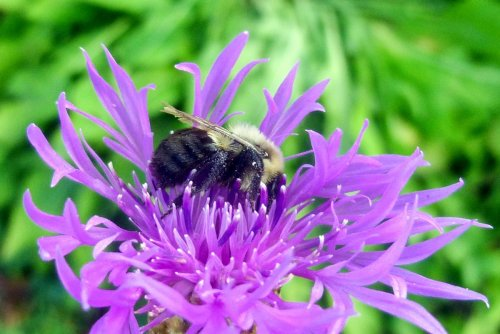 4. Bumblebee on Knapweed