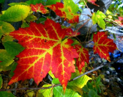 4. Maple Leaf