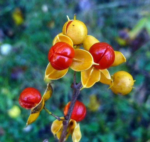 5. Bittersweet Berries