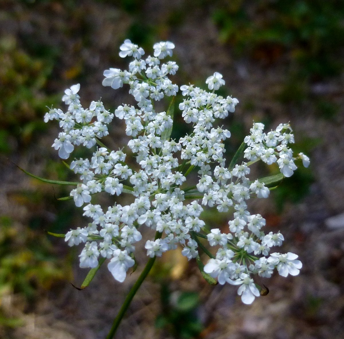 5. Queen Anne's Lace