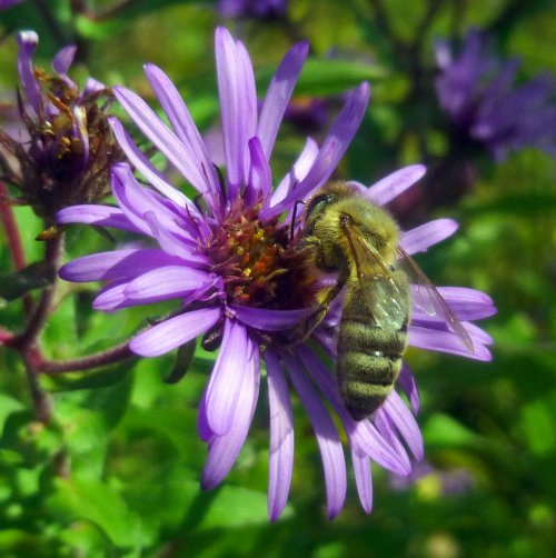 6. Bee on Aster