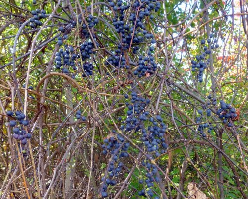 6. Grapes