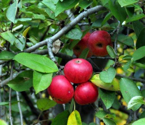 7. Apples