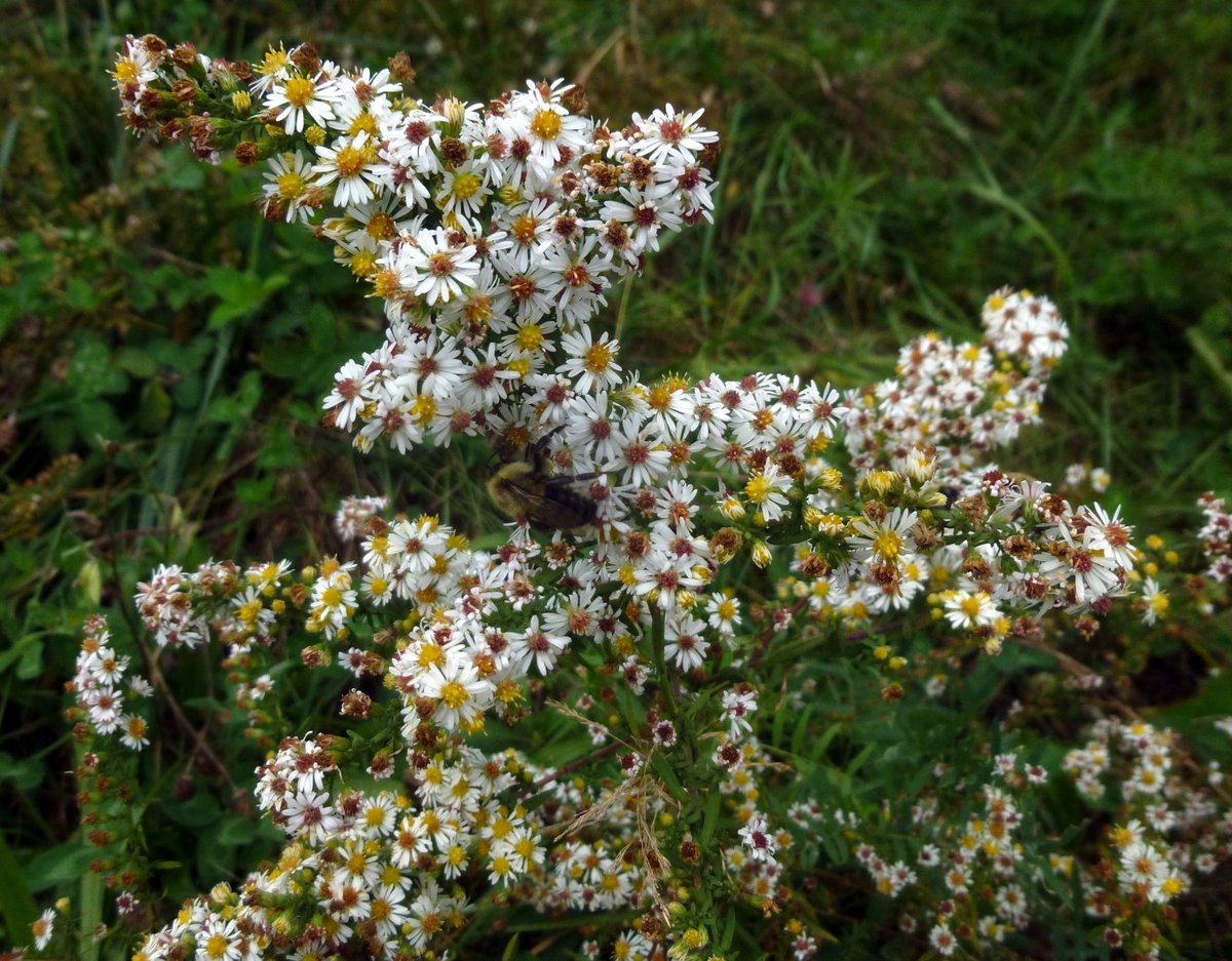 White Heath Aster New Hampshire Garden Solutions