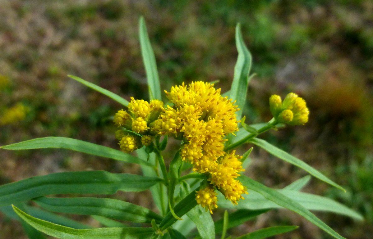 8. Slender Fragrant Goldenrod