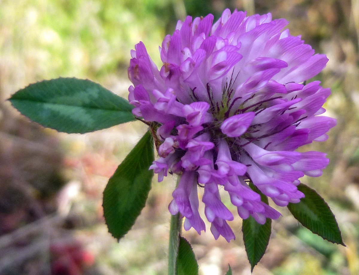 9. Red Clover