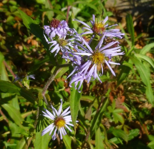 1. Aster
