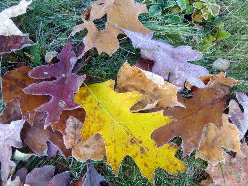 1. Oak Leaves