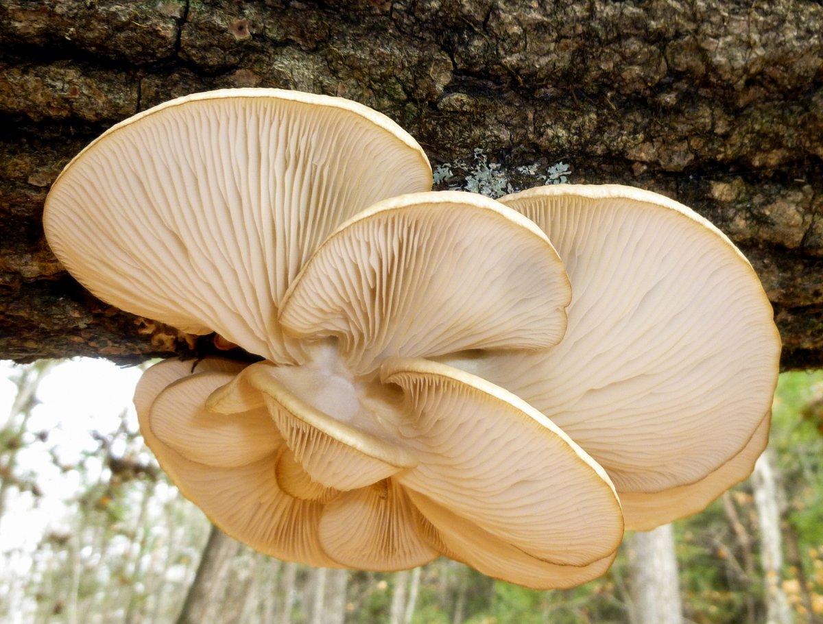 1. Oyster Mushrooms
