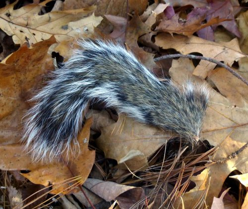 11. Squirrel Tail