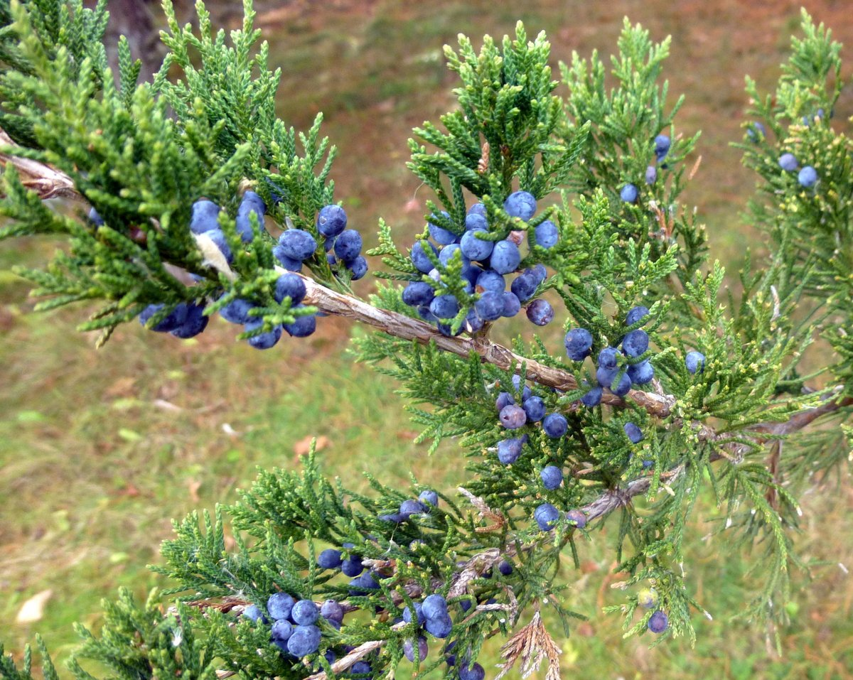 12. juniper Berries