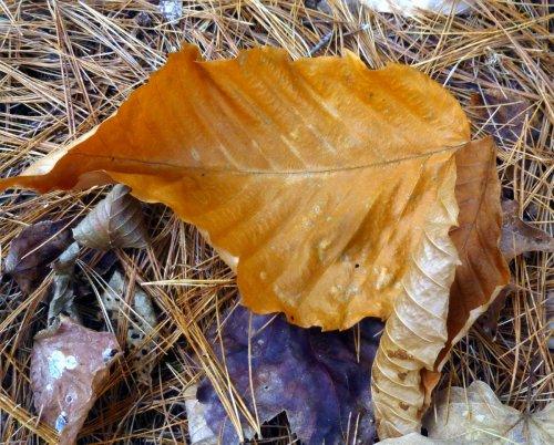 14. Beech Leaf