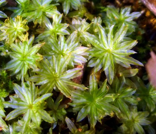 15. Bordered Thyme Moss