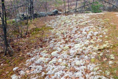 2. Reindeer Lichens