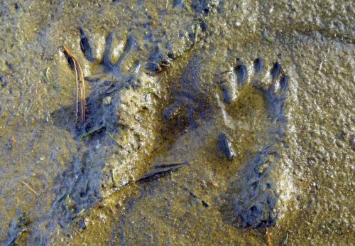 3. Raccoon Prints