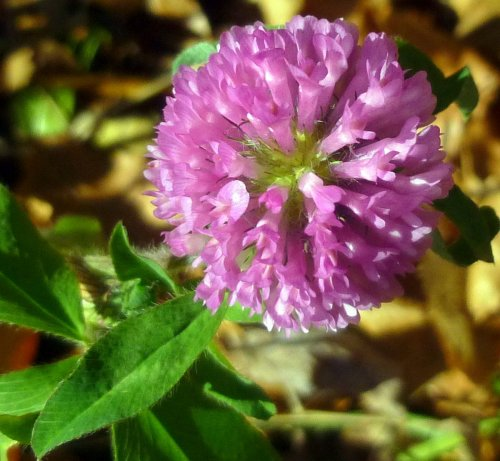 4. Red Clover