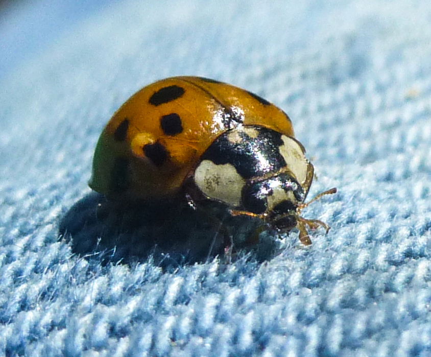 6. Ladybug