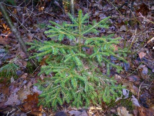 1. Spruce