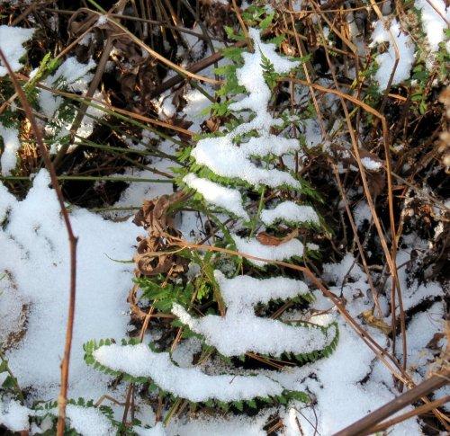 10. Snowy Fern