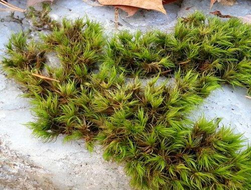 11. Moss on Quartz