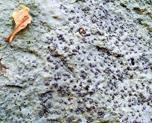12. Smokey Eye Boulder Lichen