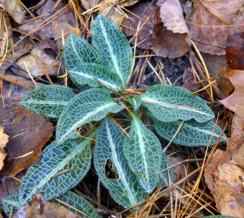 14. Downy Rattlesnake Plantain