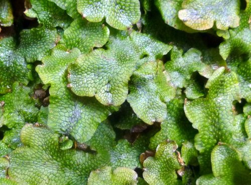 14. Great Scented Liverwort